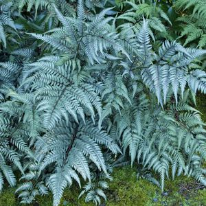 perennial green plant / for gardens / deer-resistant