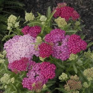 perennial floral plants
