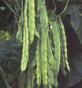 medium early bean seeds