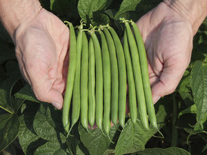 bacterial spot resistant bean seeds