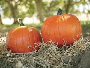 powdery mildew resistant pumpkin seeds