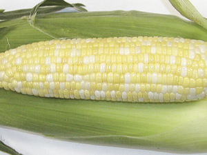 grain corn seeds / leaf blight resistant / hybrid