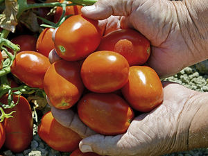 red tomato seeds / early / fusarium resistant