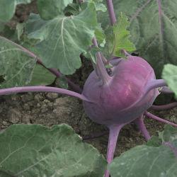 medium early kohlrabi seeds