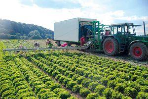 lettuce harvesting belt