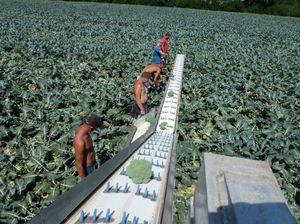 vegetable harvesting belt