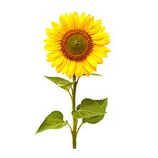 medium early sunflower seeds / leaf blight resistant