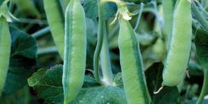 medium early protein pea seed