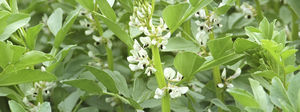 resistant to lodging field bean seeds