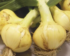 very early onion seeds