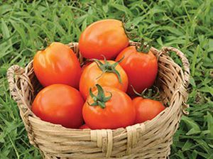 red tomato seeds / medium early / round / hybrid