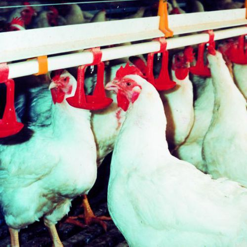 poultry waterer