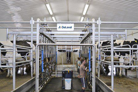 cow milking parlor / herringbone / swing-over