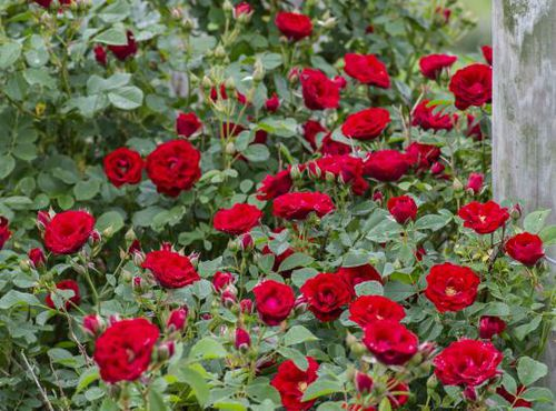 red floral plant / climbing plants / hybrid