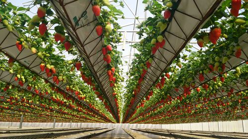 strawberry crop hydroponic system