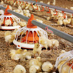 poultry pan feeder / plastic / multi-access / floor-mounted