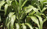sorghum fodder / for animal feed / hybrid
