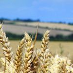 late wheat seed / spring / rust resistant / septoria resistant