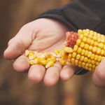 early corn seed