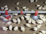 poultry pan feeder / plastic / multi-access