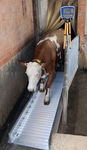 cow weighing system