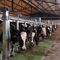 cow milking parlour