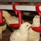poultry waterer / plastic / with nipple drinker / suspended