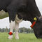 cow monitoring system / health / heat / wireless