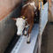 cow weighing systemCIMA