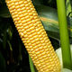 very early corn seed / silage / dent / medium ear hight