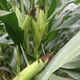 very early corn seed / silage / flint / dent
