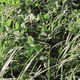 forage mixture / for animal feed / for pasture / mowing
