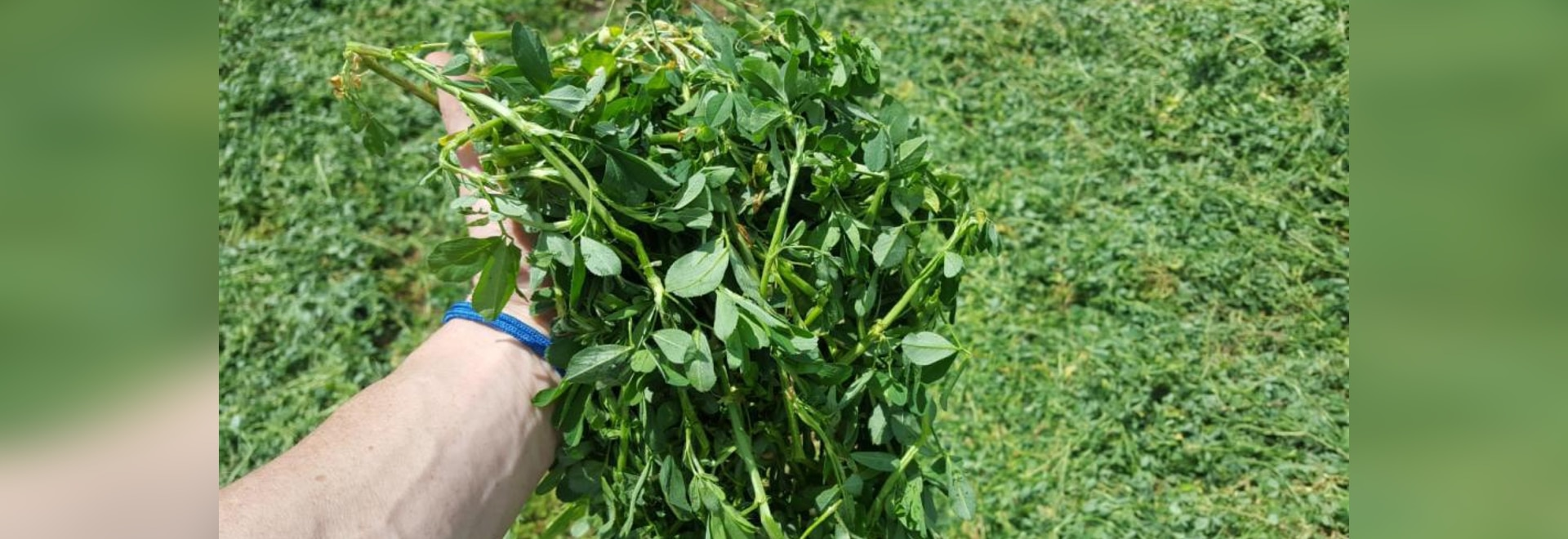 Harvest first crop alfalfa to maximize quality and quantity. ( Farm Journal )