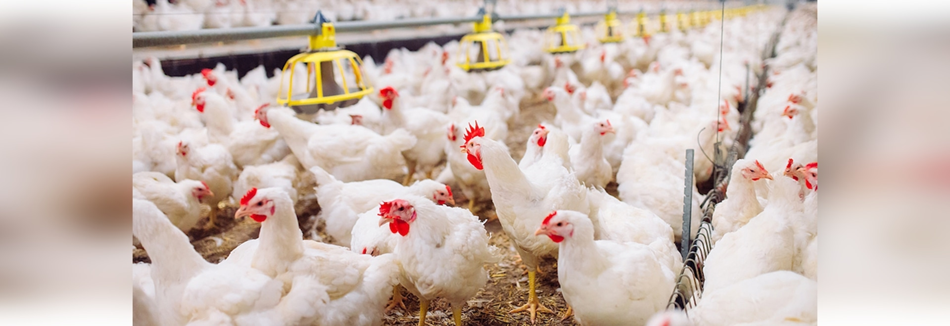 Poultry farm sector trends