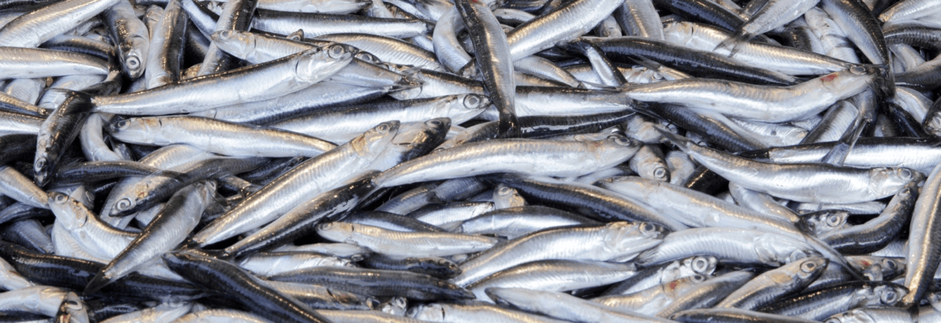 Salmon feed producers are being challenged to find an alternative to fishmeal from sources such as anchovies.
