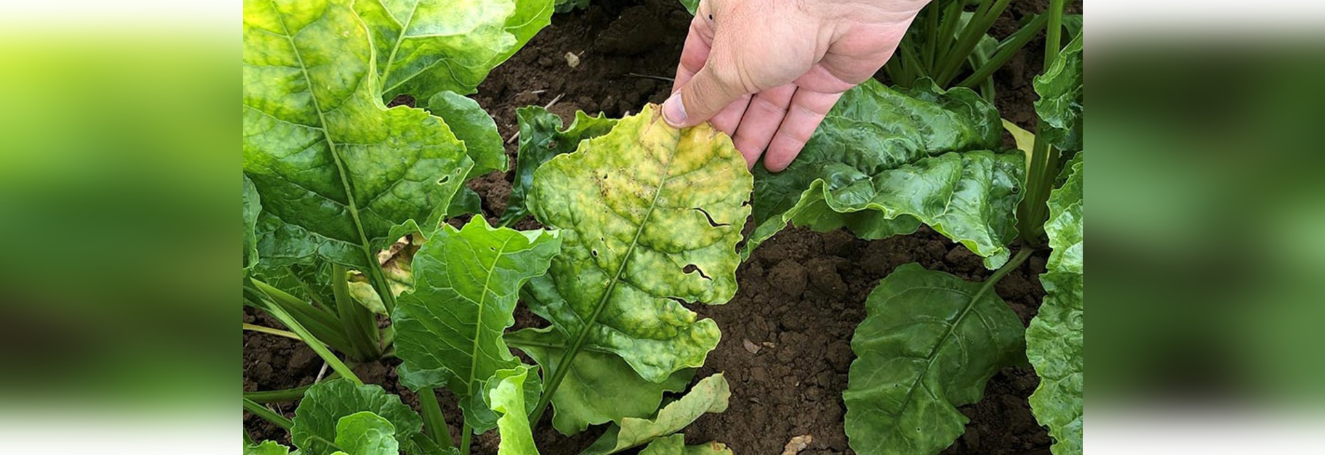 Virus yellows on sugar beet leaf