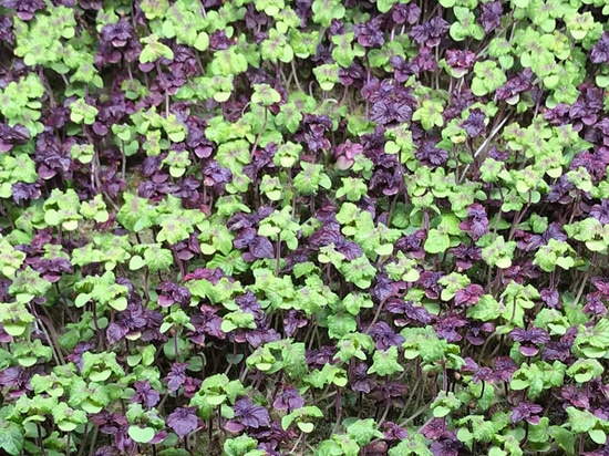 Red and Green Micro-Shiso