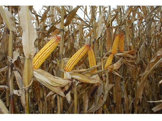 Syngenta is increasing its technology offerings for farmers. This winter will be the first time Golden Harvest farmers can automatically share harvest info. ( Darrell Smith )