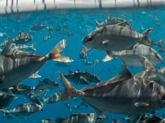 Kampachi plans to raise up to 40 tonnes of Almaco jack (Seriola rivoliana) at a new trial site in the Gulf of Mexico