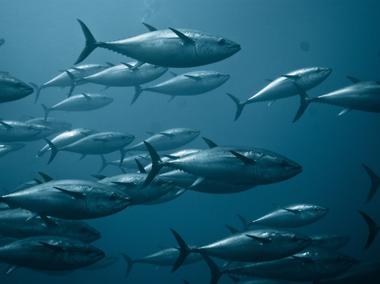 Certification could help to reinvigorate Europe's Atlantic bluefin tuna sector whose production peaked in 2015