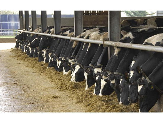 Why structural fibre is essential for fresh cows