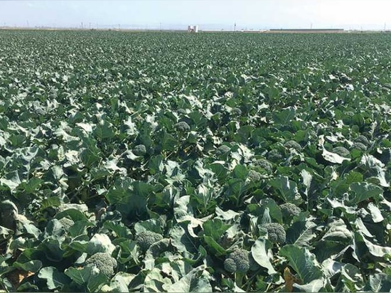 Seminis Seed Company collaborated with Church Brothers Farms' Josh Ruiz, Vice President of Ag Operations, on developing broccoli varieties that work well with automated harvesting equipment.