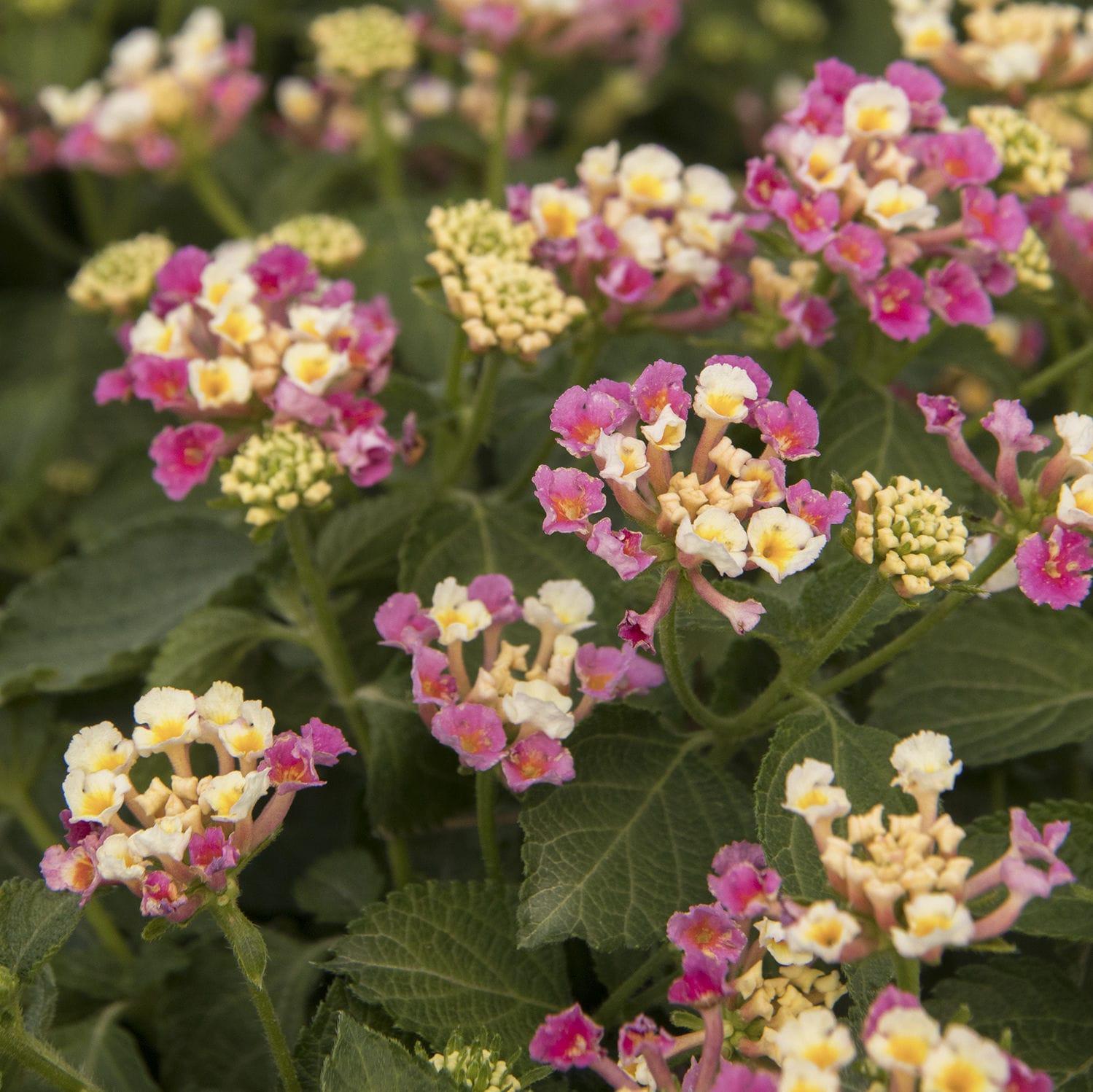 Piante Sempreverdi Da Aiuola arbusti da fiore per aiuola - 8945 - monrovia - a fiori rosa