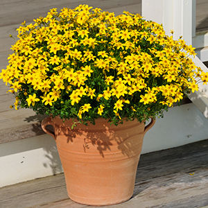 Fiori Gialli In Vaso.Pianta Da Fiore Perenne Suntory Flowers Sun Fire Nurseries