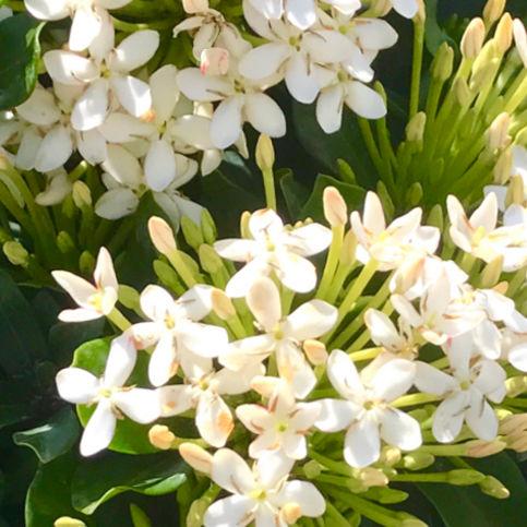Fiori Bianchi Da Vaso.Arbusti Da Fiore Da Vaso Vf Maria Vista Farms Per Aiuola