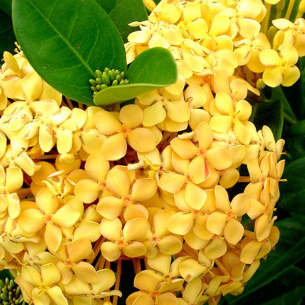 Fiori Gialli In Vaso.Arbusti Da Fiore Da Vaso Sunset Vista Farms Per Aiuola A