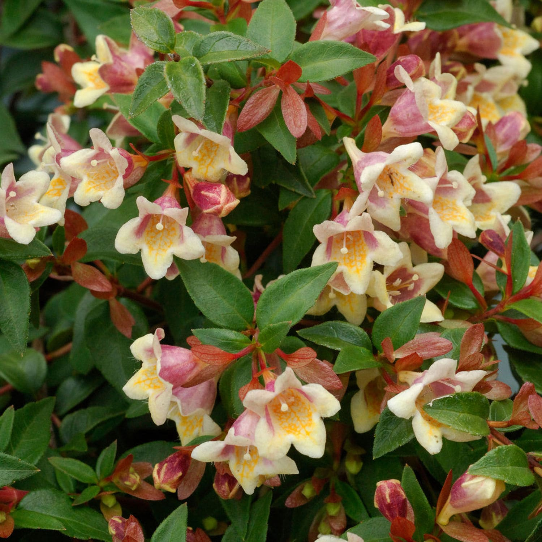 Arbusto A Fiori Gialli pianta da fiore perenne - sunny anniversary™ - willowbend