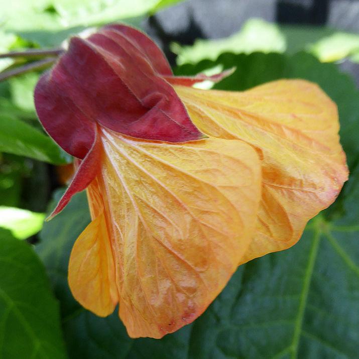 Pianta Fiori Arancioni.Pianta Da Fiore Perenne 4943 Annie S Annuale Rosso Arancione
