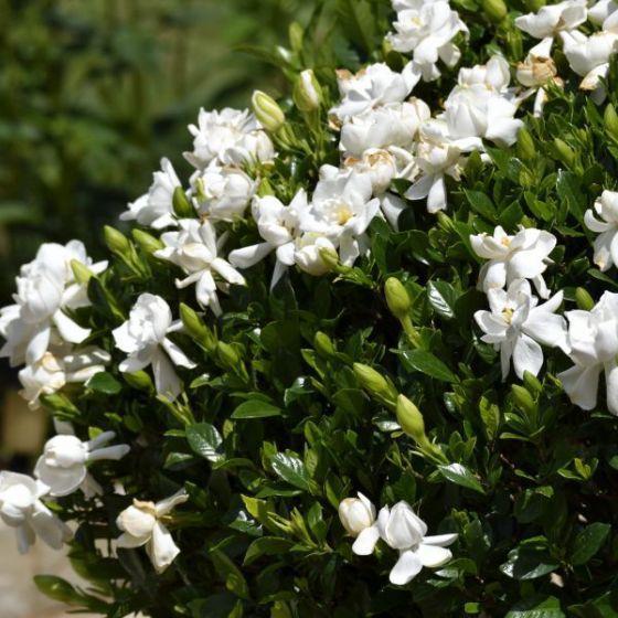 Fiori Bianchi Da Vaso.Pianta Da Fiore Perenne Frost Proof Gardenia Naturehills