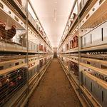 sistema di allevamento per voliera per polli / multilivello
